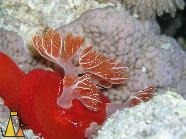 Spanish dancer, Red Sea, Egypt, underwater, nudi, Spanish dancer, Hexabranchus sanguineus