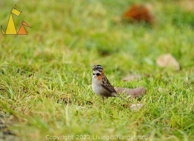 Sparrow in the Grass, Boquete, Panama, bird, grass, Zonotrichia capensis, Rufous-collared Sparrow