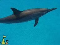Spinner from the top, Red Sea, Egypt, underwater, dolphin, Spinner dolphin, Stenella longirostris