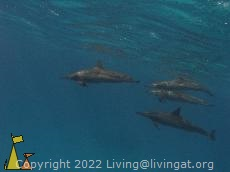 Spinners, Red Sea, Egypt, underwater, dolphin, Spinner dolphin, Stenella longirostris