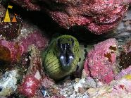 Spot-face moray, Myanmar, Burma, underwater, fish, Spot-face moray, Gymnothorax fimbriatus