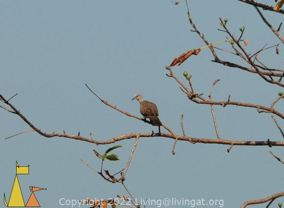 Spotted dove, Banteay Prei, Siem Reap, Cambodia, bird, dove, Spotted dove, Streptopelia chinensis