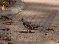 Spotted dove, Siem Reap, Cambodia, bird, pigeon, dove, Spotted dove, Streptopelia chinensis