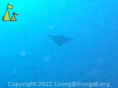 Spotted eagle ray, Laamu Atoll, Maldives, underwater, blue, Spotted eagle ray, Aetobatus narinari