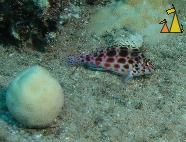 Spotted hawkfish, Red Sea, Egypt, underwater, fish, Spotted hawkfish, Pixy hawkfish, Cirrhitichthys oxycephalus