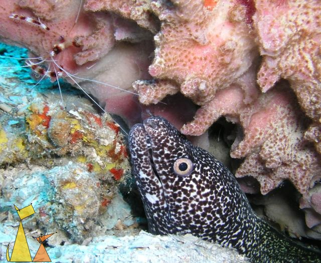 Spotted moray, Dominican Republic, underwater, Spotted moray, Gymnothorax moringa, Banded boxer shrimp, Stenopus hispidus