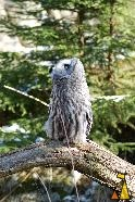 Spotting aeroplanes?, Skansen, Stockholm, Sweden, bird, Great Grey Owl, Strix nebulosa, captive