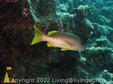 Spottles One-spot, Shaab Marsa Alam, Red Sea, Egypt, underwater, fish, Lutjanus monostigma, One-spot snapper
