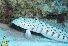 Spreckled sandperch, Red Sea, Egypt, fish, underwater, Spreckled sandperch, Parapercis hexophthalma, Parapercis hexophtalma