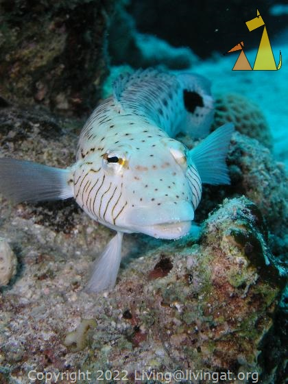 Spreckled sandperch, Red Sea, Egypt, underwater, fish, portrait, Spreckled sandperch, Parapercis hexophthalma, Parapercis hexophtalma