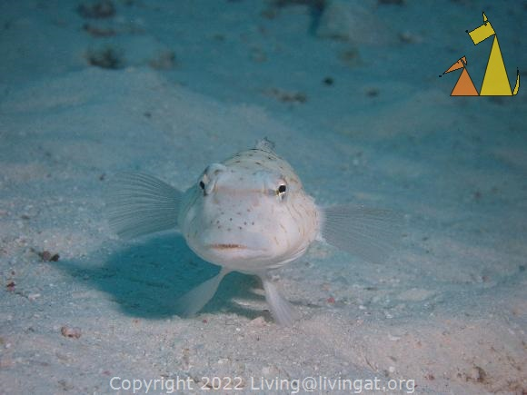 Spreckled sandperch, Similan, Thailand, underwater, fish, Spreckled sandperch, Parapercis hexophthalma, Parapercis hexophtalma