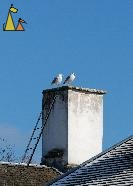 Spring couple, Skansen, Stockholm, Sweden, bird, chimey, Larus argentatus, Herring gull