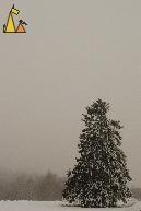 Spruce in Haze, Landet, Sweden, snow, tree, plant, mist, haze, Norway Spruce, Picea abies