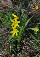 Star-of-Bethlehem, Djurgården, Stockholm, Sweden, plant, yellow flower, Yellow Star-of-Bethlehem, Gagea lutea