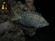 Stellate rabbitfish, Red Sea, Egypt, Stellate rabbitfish, Siganus stellatus, underwater, fish