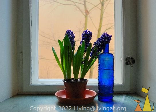 Still life of Hyacinth, Skeppargatan, Stockholm, Sweden, skeppargatan 11, plant, flower, Common Hyacinth, Hyacinthus orientalis, still life, stilleben, bottle, blue