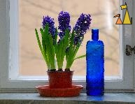 Still life of Hyacinth, Skeppargatan, Stockholm, Sweden, skeppargtan 11, plant, flower, Common Hyacinth, Hyacinthus orientalis, still life, stilleben, bottle, blue