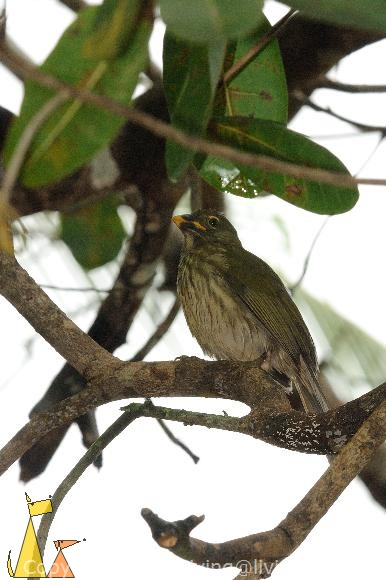 Streaked Saltator in a Tree, Isla Coiba, Panama, bird, Saltator striatipectus, tree