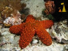 Striking Sea Star, Malapascua, Philippines, underwater, starfish, Euretaster insignis, Striking Sea Star