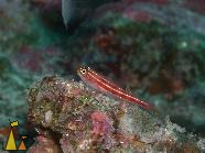 Striped triplefin, Similan, Thailand, fish, underwater, Helcogramma striata, Striped triplefin
