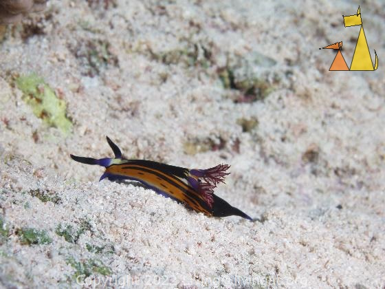 Struggling up the hill, Red Sea, Egypt, underwater, nudi, Nembrotha megalocera