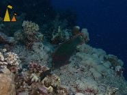 Swarty parrotfish, Red Sea, Egypt, underwater, fish, Swarty parrotfish, Scarus niger