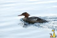 Swimming Goosander, Djurgården, Stockholm, Sweden, bird, duck, Mergus merganser, Common goosander