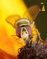 Syrphus ribesii, Landet, Sweden, insect, fly, Syrphus ribesii, Rudbeckia hirta
