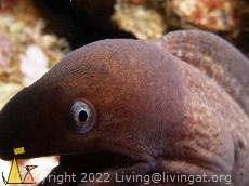 Tasting the port, Richelieu rock, Thailand, underwater, fish, White-eyed moray, Siderea thyrsoidea, Gymnothorax thyrsoideus