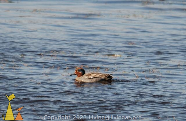 Teal, Angarn, Stockholm, Sweden, bird, duck, Anas crecca, Common Teal
