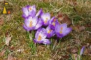 The Crocus Family, Landet, Sweden, plant, flower, Spring crocus, Giant dutch crocus, Crocus vernus, family
