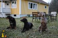 The Three Stooges, Landet, Sweden, dog, Canis lupus familiaris, Doris, Weimaraner, Troll, Koffi, German Shorthaired Pointer