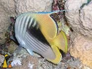 Threadfin, Red Sea, Egypt, Underwater, Threadfin butterflyfish, Chaetodon auriga