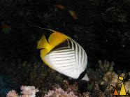 Threadfin butterfly, Red Sea, Egypt, underwater, fish, Threadfin butterflyfish, Chaetodon auriga