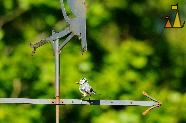 Tit in weather vane, Landet, Sweden, bir, Blue tit, weather vane, Cyanistes caeruleus