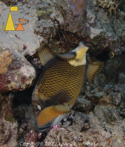 Titan trigger, Red Sea, Egypt, underwater, fish, Titan triggerfish, Moustache triggerfish, Balistoides viridescens