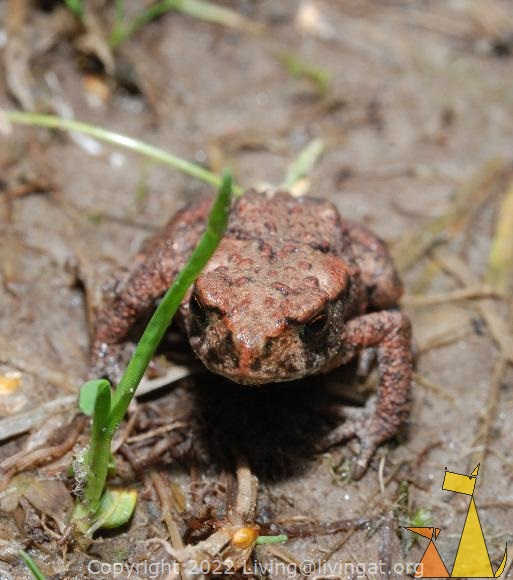 Toad, Angarnsjöängen, Sweden, frog, Common toad, Bufo bufo