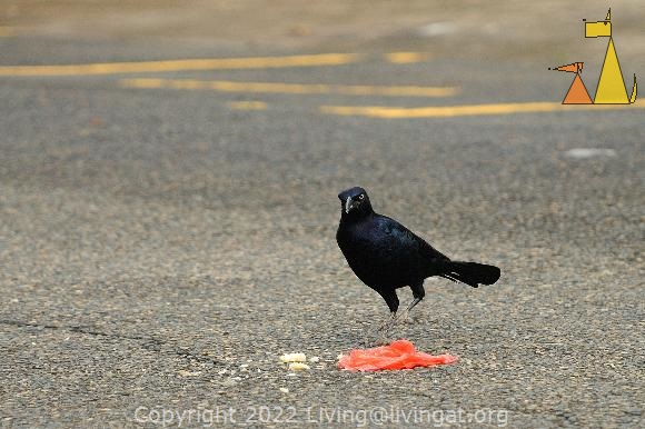 Tomato Feeding Grackle, Panama City, Panama, asfalt, street, bird, Quiscalus mexicanus