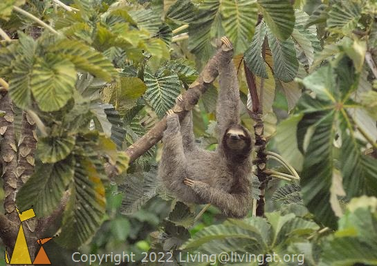 Tree Hanger, Canopy Tower, Panama, mammal, Bradypus variegatus, Brown-throated Sloth, tree