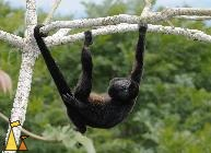 Tree Hanging Howler, Canopy Tower, Panama, mammal, Alouatta palliata, Mantled Howler, monkey, hang, tree, tail