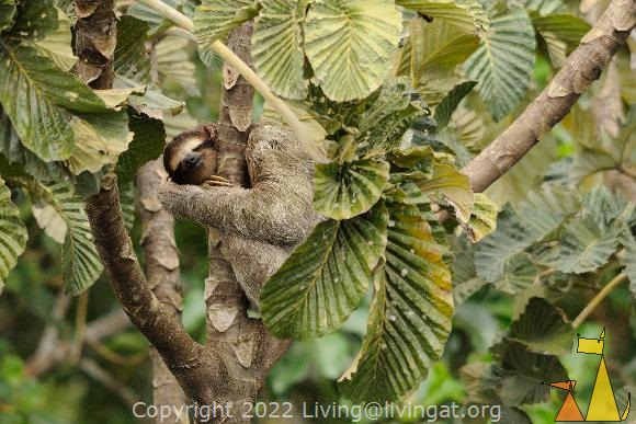 Tree Hugger, Canopy Tower, Panama, mammal, Bradypus variegatus, Brown-throated Sloth, tree, hugg