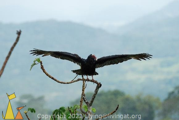 Turkey in a Tree, Canopy Tower, Panama, bird, black, Cathartes aura, Turkey Vulture, treetop