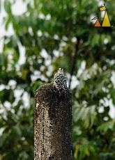 Twisted head, Ammo dump, Canal, Panama, bird, Melanerpes rubricapillus Red-crowned Woodpecker