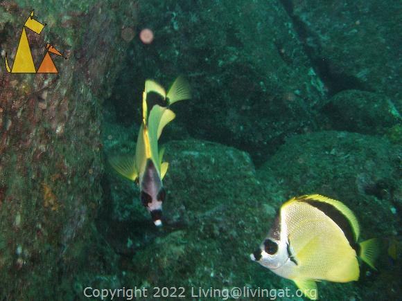 Two Barberfish, Isla Coiba, Panama, underwater, fish, Johnrandallia nigrirostris