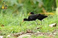Two Wattled Jacanas, Ammo Dump, Canal, Panama, bird, black, Jacana jacana, grass, green