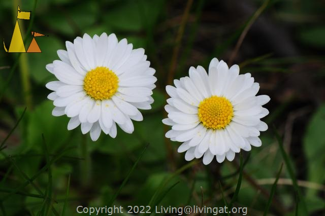 Two oxeye looking at you, Kastellholmen, Stockholm, Sweden, plant, flower, Leucanthemum vulgare, oxeye daisy