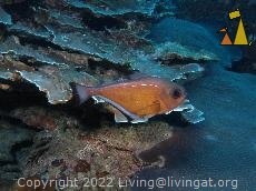 Vanikoro sweeper, Similan, Thailand, Undewater, fish, Vanikoro sweeper, Pempheris schwenkii