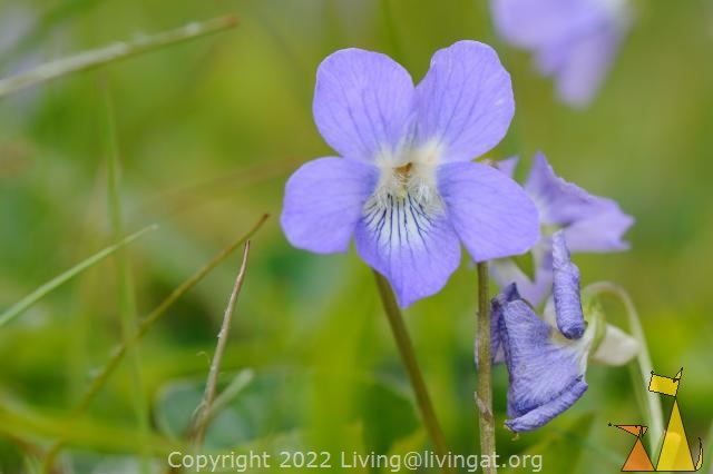 Violet Heath Dog, Landet, Sweden, flower, green, grass, blue flower, Viola canina