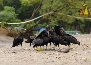 Vulture Group Sex, Santa Catalina, Panama, bird, Coragyps atratus brasiliensis, Southern American Black Vulture, mating