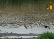 Wading Greater Yellowlegs, Apple Valley, Minnesota, USA, bird, water bird, piper, Greater Yellowlegs, Tringa melanoleuca